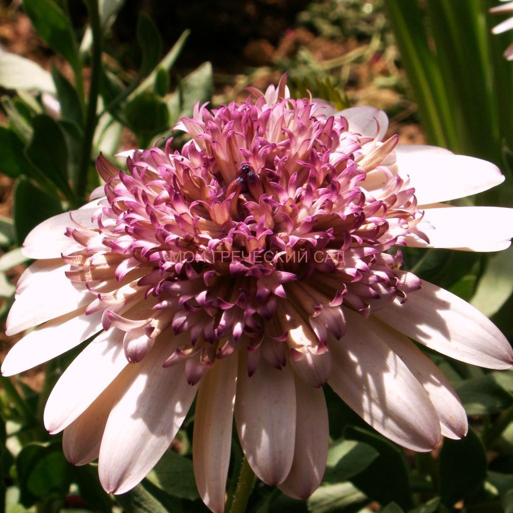 остеоспермум Эклона Osteospermum ecklonis фото