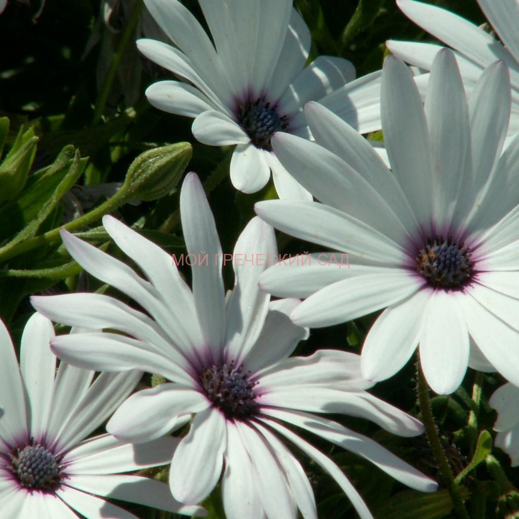 Остеоспермум (Osteospermum) фото