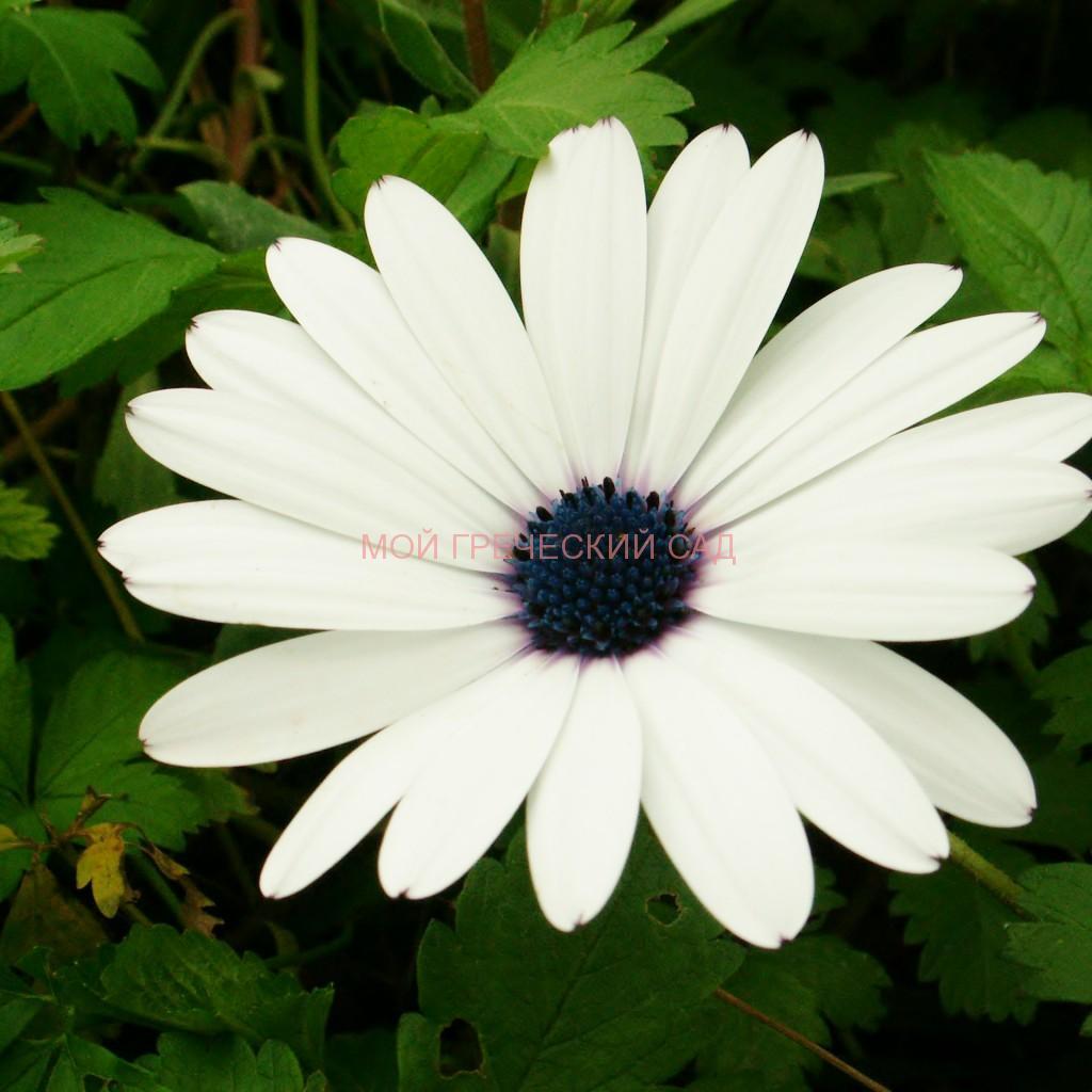 Цветы остеоспермум фото и выращивание