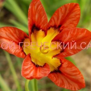 цветок спараксис