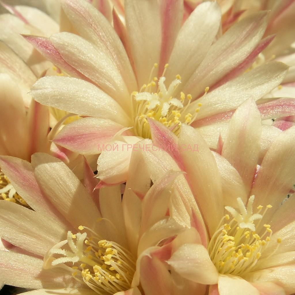 цветет кактус фото