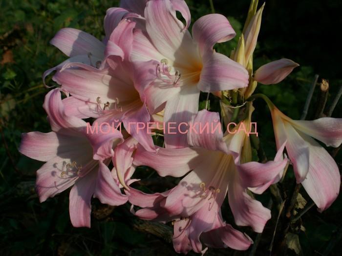 цветок амариллис фото