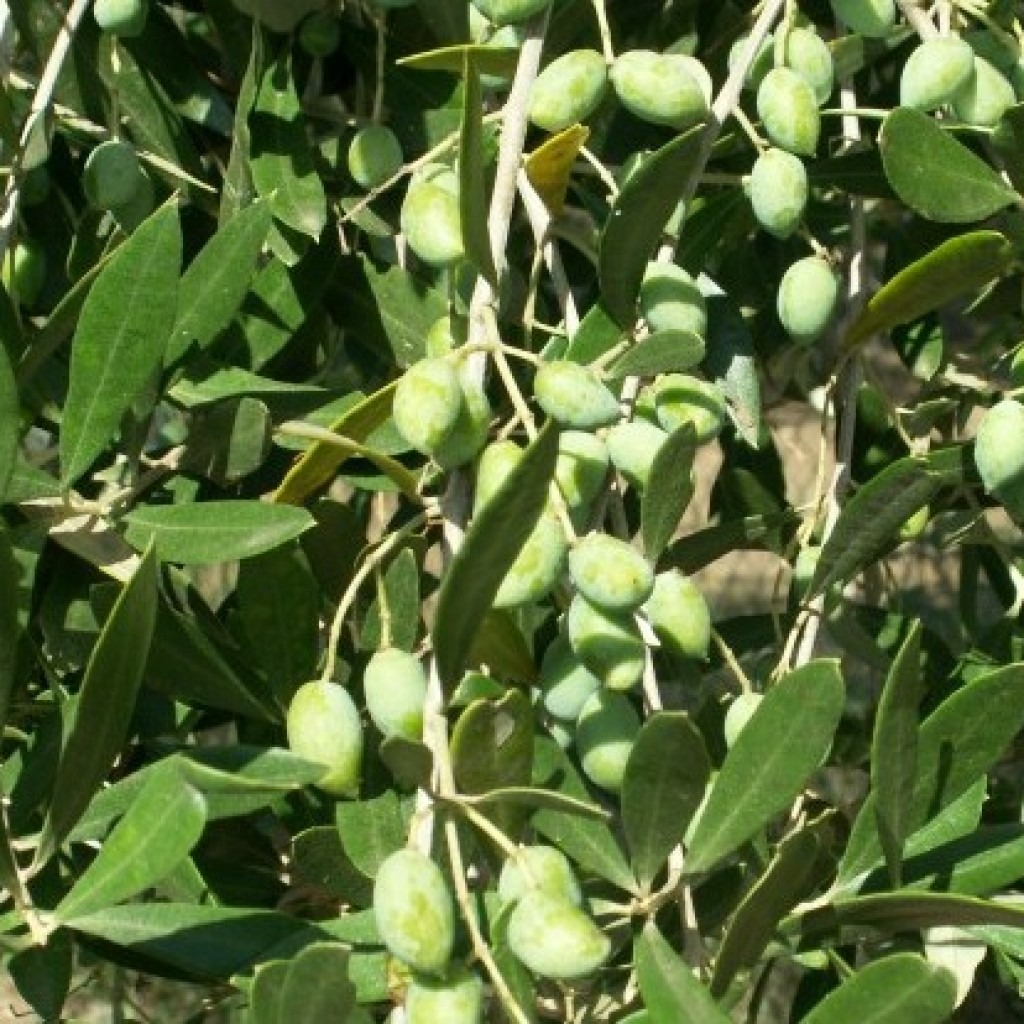 оливки маслины Греции