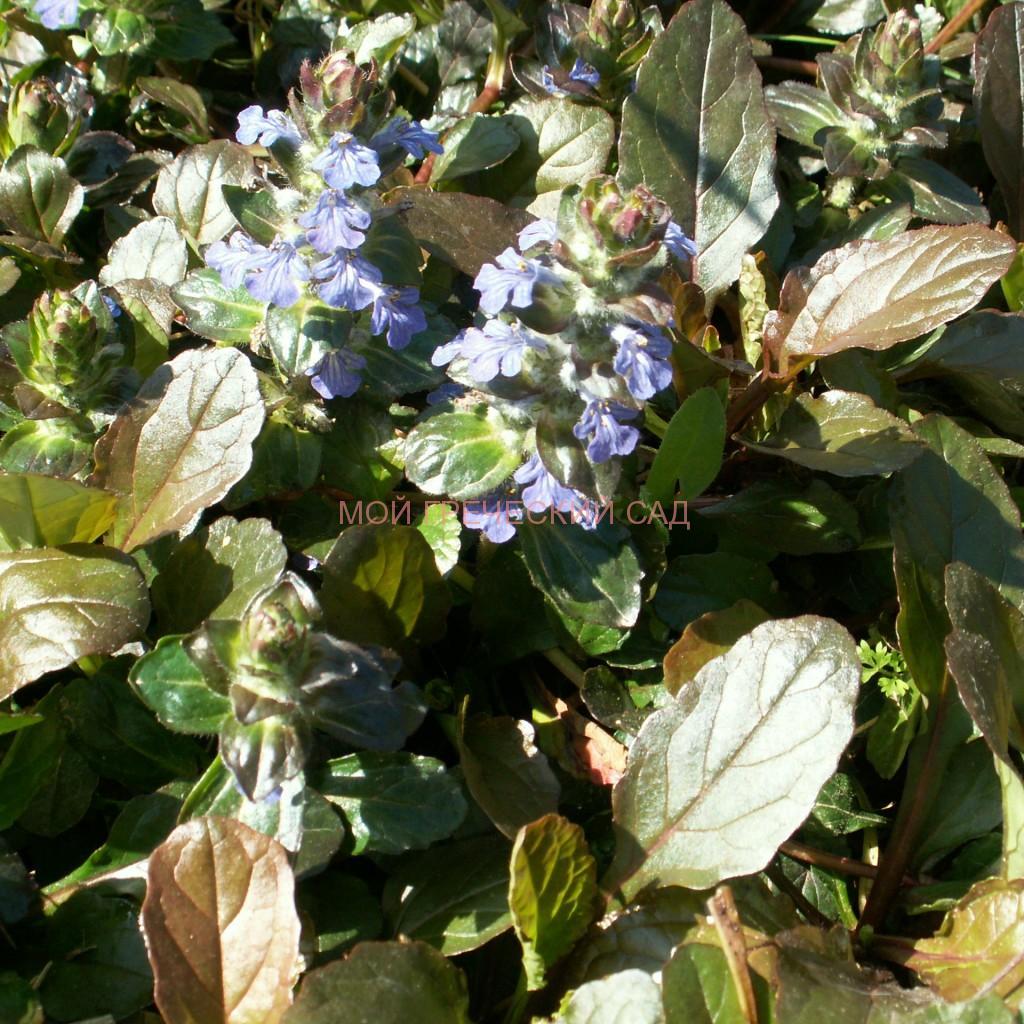 почвопокровные декоративные растения
