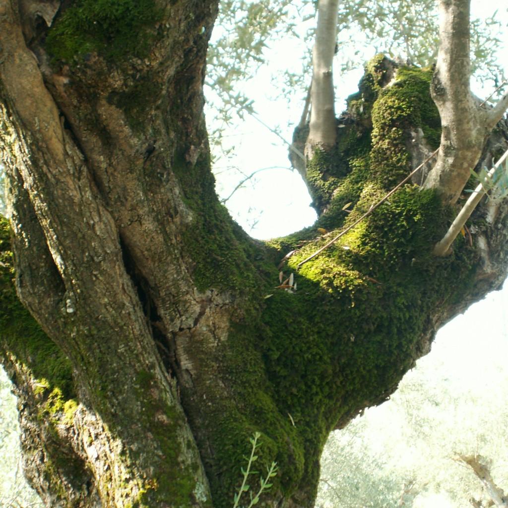 маслина греция