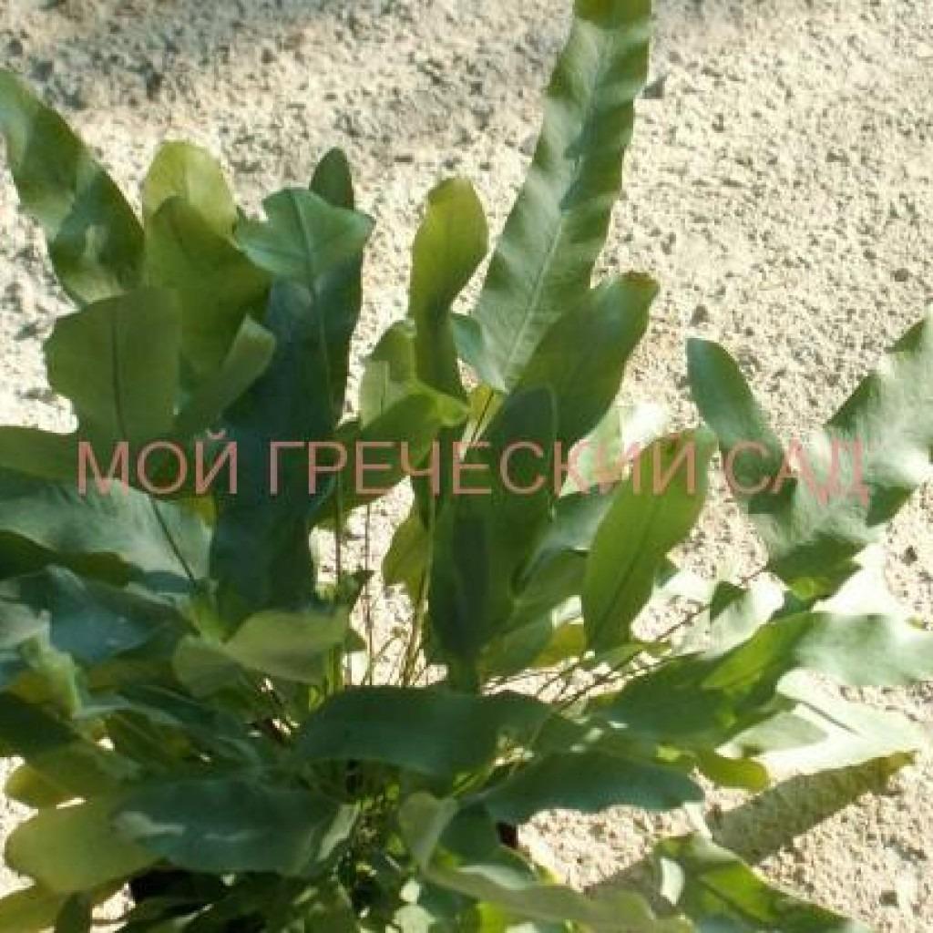 папоротникиПолиподиумы (Polypodium L.)