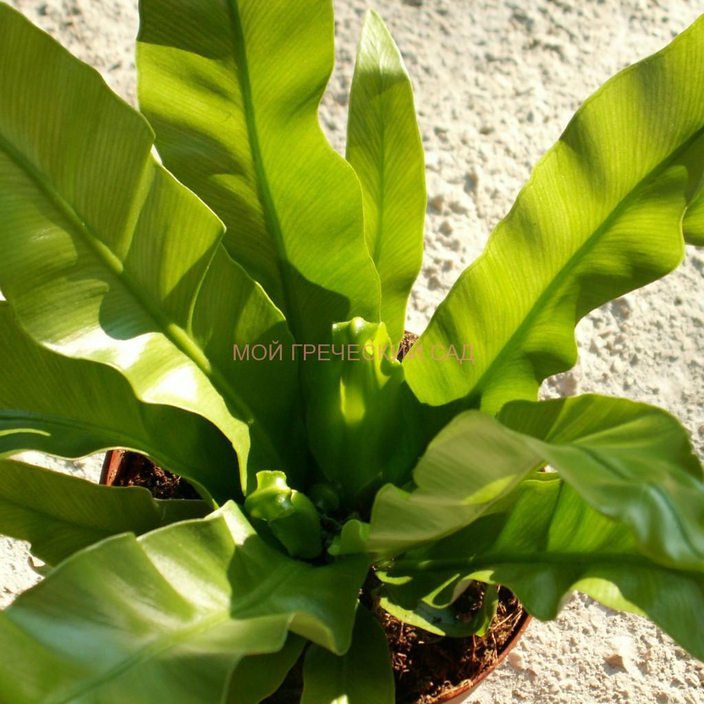 папоротник Асплениум гнездовой (Asplenium nidus) фото