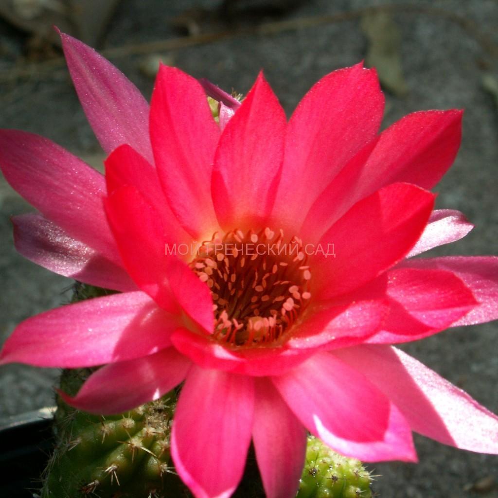 почему не цветет кактус
