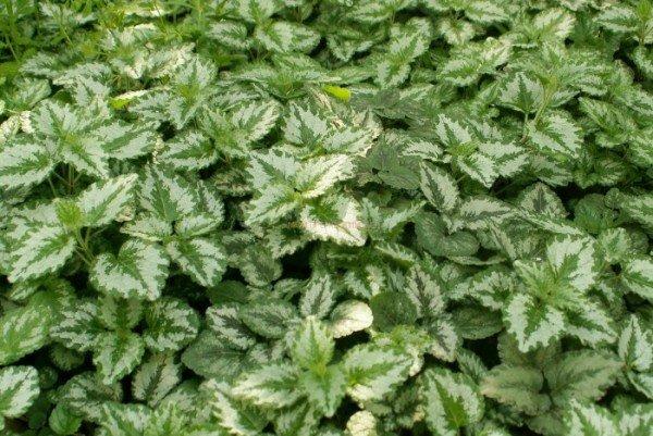 почвопокровные многолетние растения