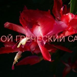 кактус декабрист