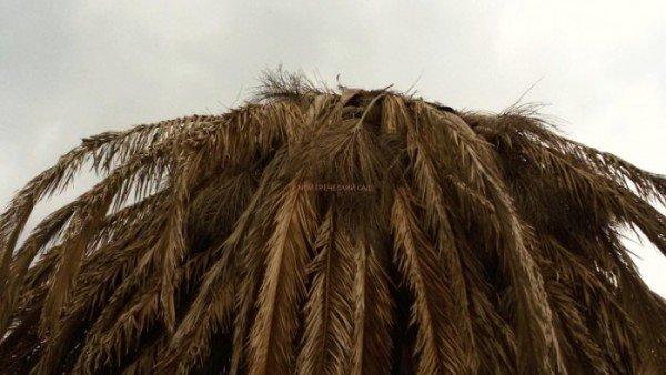 пальмовый жук красный долгоносик