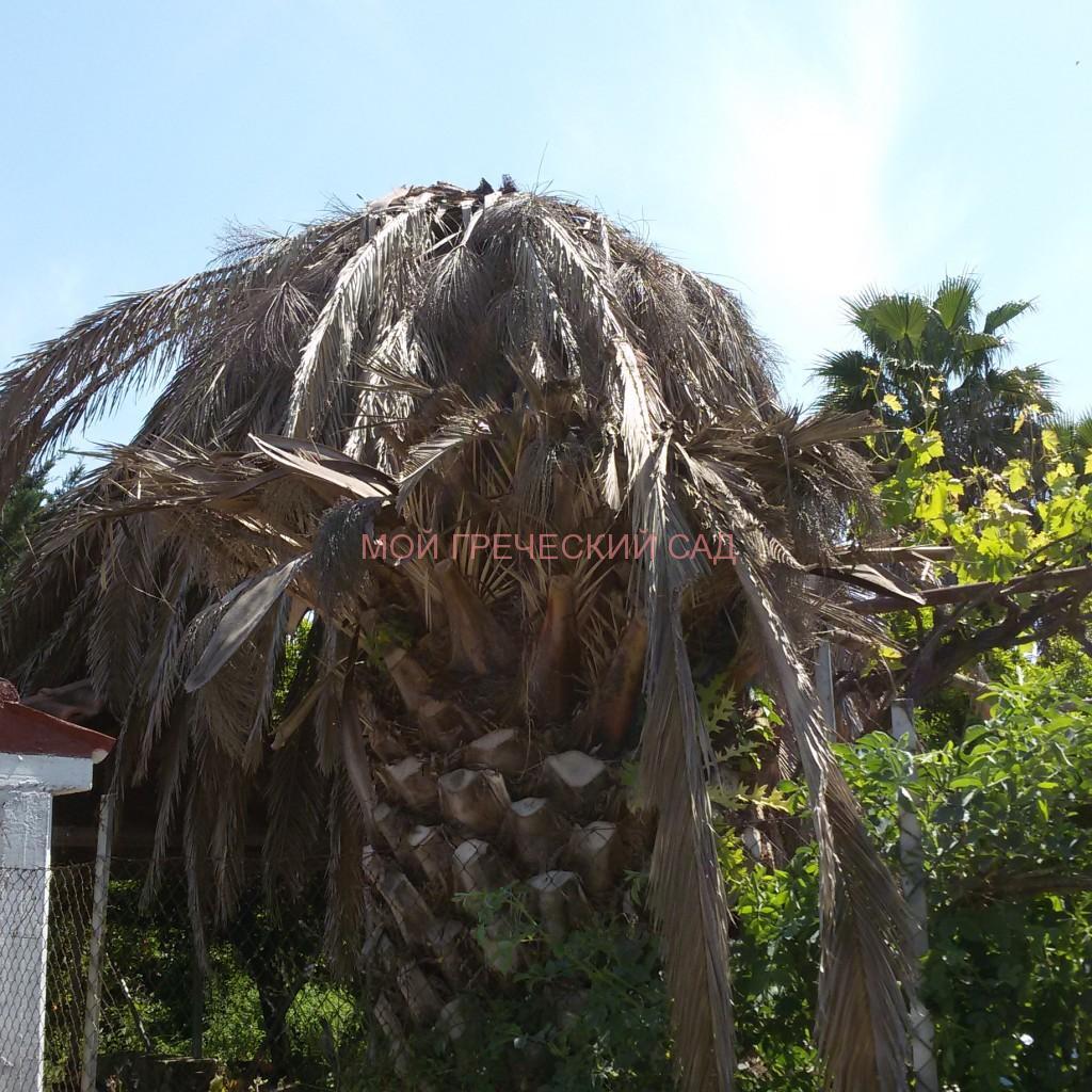 пальмовый вредитель Греция
