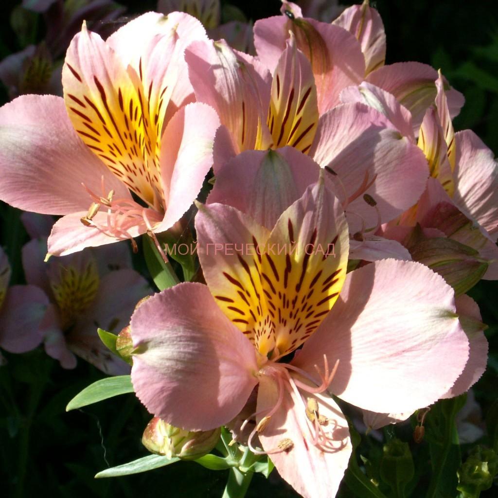 альстромерия цветы фото