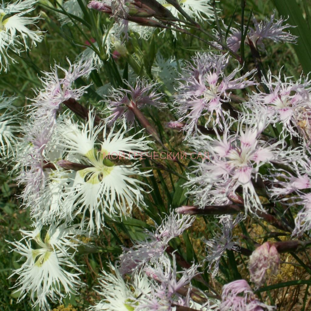 засухоустойчивые почвопокровные растения