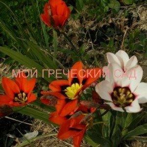 спараксис выращивание
