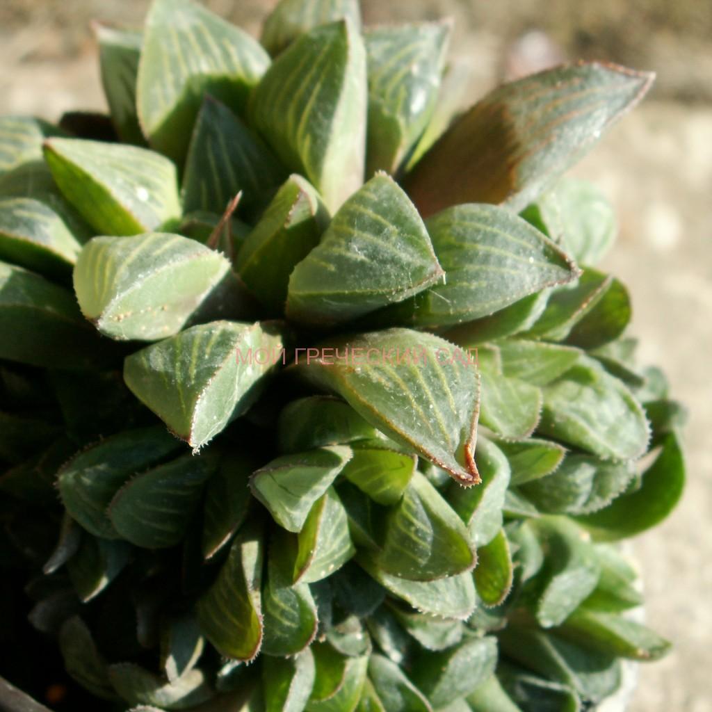 растение хавортия