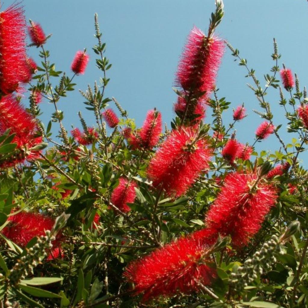 цветущий каллистемон