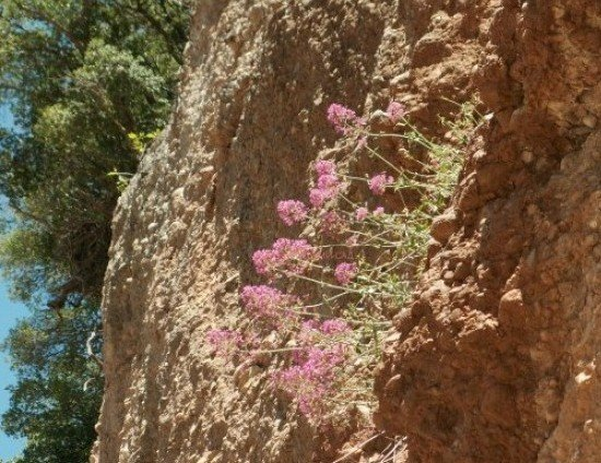 дикие растения Греции фото