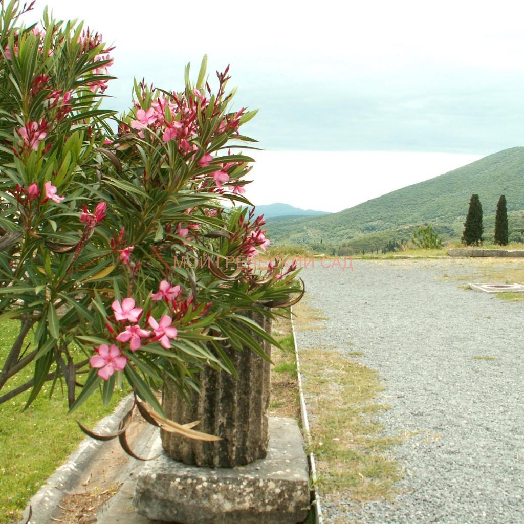 цветущий олеандр греция