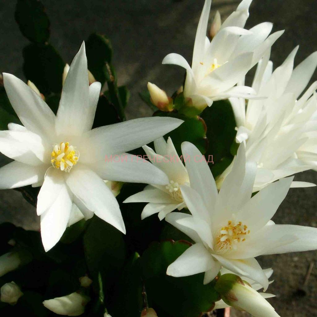 кактусы для северных окон