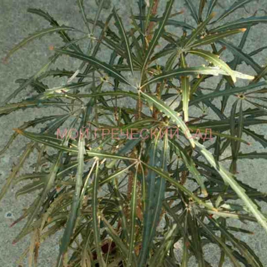 домашнее тенелюбивое растение