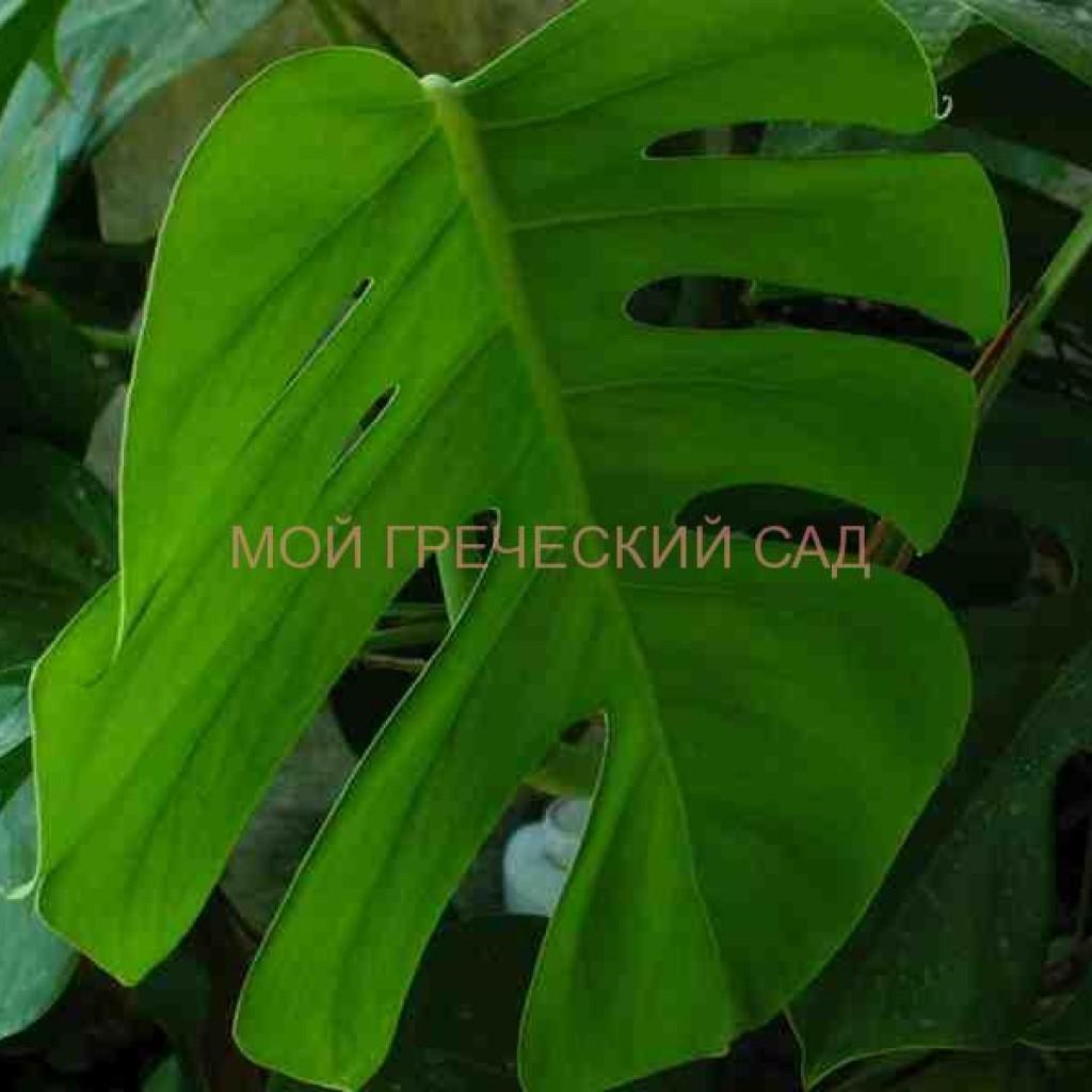 тенелюбивые комнатные растения названия