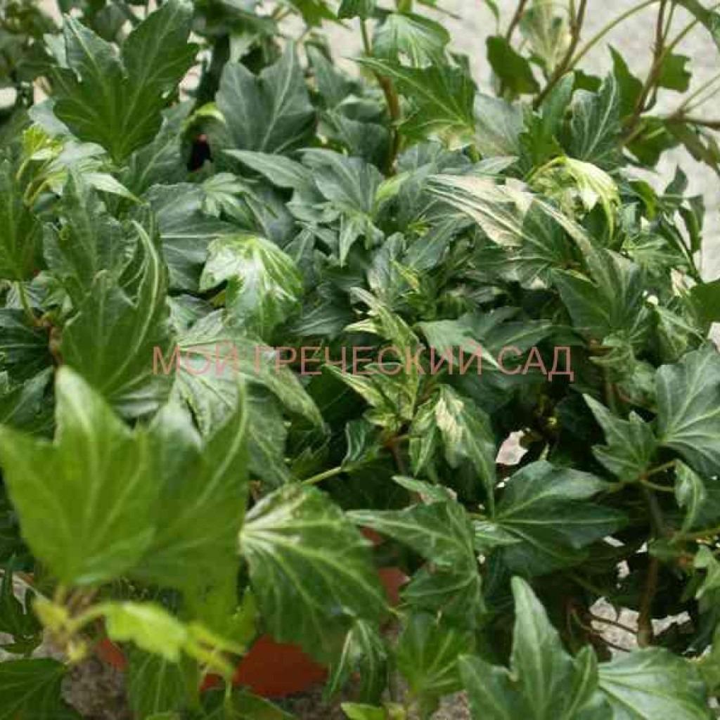 тенелюбивые неприхотливые растения фото