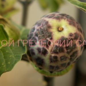 плод дурмана (датуры)