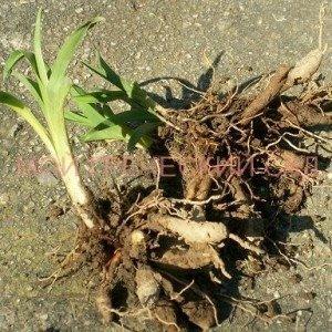 размножение лилейников