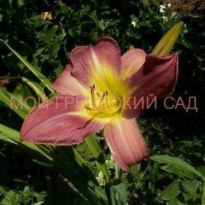 лилейник цветок