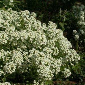 Особенности греческого садоводства Алиссум