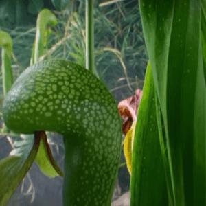Хищные растения Дарлингтония Калифорнийская