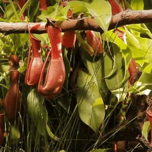 Непентес Хищные растения