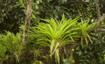 растения эпифиты фото