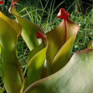 Гелиамфора Хищные растения