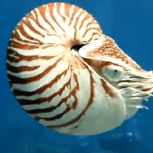 Моллюск Наутилус -пример реликтовые животные