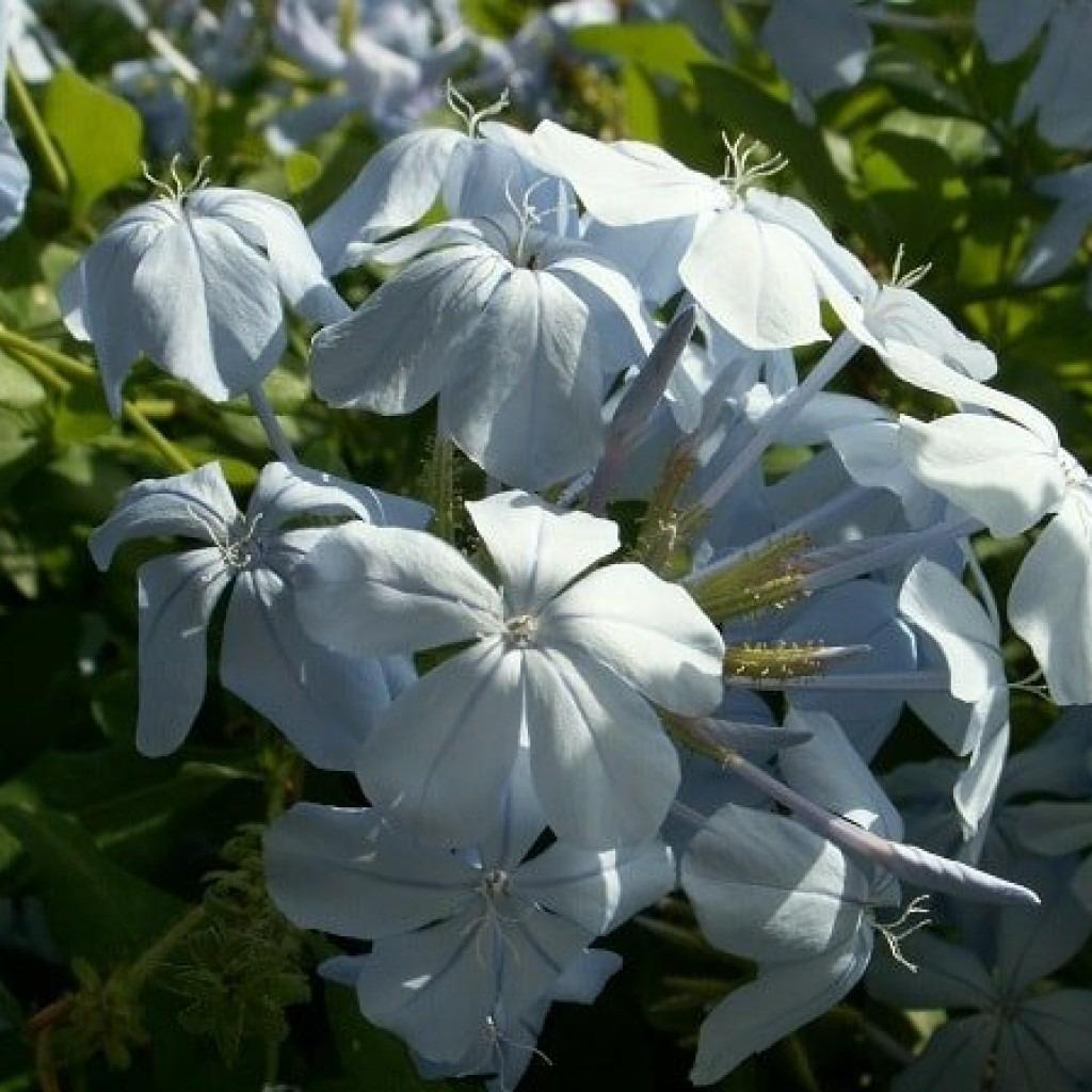 плюмбаго голубой жасмин  фото